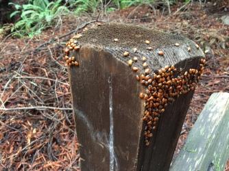 Ladybugs huddling together on a fencepost