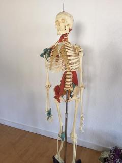 Fred, our friendly skeleton