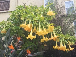Angels trumpets and birds of paradise