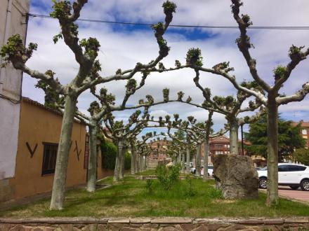 Sycamore Trees, ALL along the Camino.