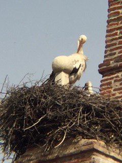 Stork feeding her young