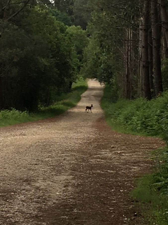 By far the best thing on this section was seeing my first deer on this Camino!